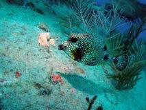ровный trunkfish Стоковые Фотографии RF