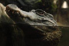 Ровн-противостоят caiman & x28; Trigonatus& x29 Paleosuchus; стоковые фото