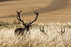 рогачи красного цвета оленей Стоковое фото RF