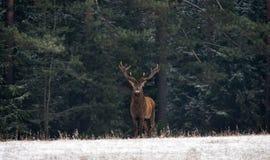 Рогач грациозных оленей взрослый мужчина с красивыми рожками против фона зеленого соснового леса зимы, с покрытым Снег Fo стоковые фотографии rf