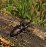 рогач жука Стоковое Фото