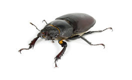 рогач жука Стоковое Изображение