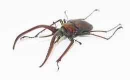 Рогач-жук в белой предпосылке Стоковые Фото