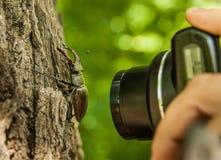 Рогач-жук и камера Стоковая Фотография