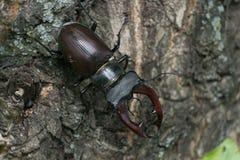 Рогач-жук Стоковое Изображение