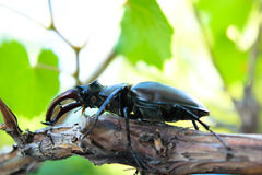 Рогач-жук Стоковое фото RF
