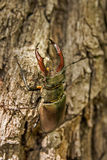 Рогач-жук Стоковая Фотография RF