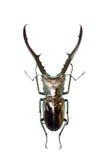 рогач изолированное жуком стоковые изображения rf