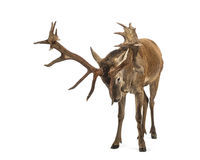 рогач красного цвета оленей Стоковое Фото