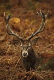 рогач красного цвета портрета падения оленей осени величественное стоковое фото rf
