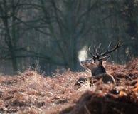 рогач красного цвета портрета падения оленей осени величественное стоковая фотография rf