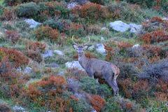 Рогач красных оленей во время колейности Стоковое Фото