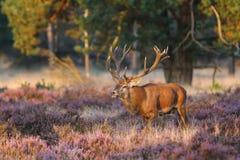 Рогач красных оленей в прокладывать борозды сезон стоковые фотографии rf