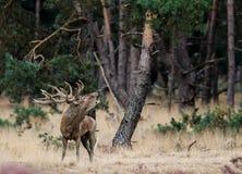 Рогач красных оленей в прокладывать борозды сезон стоковые изображения rf