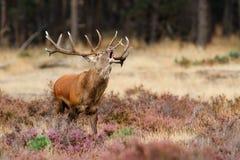 Рогач красных оленей в прокладывать борозды сезон стоковые фото