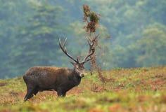 Рогач красных оленей в прокладывать сезоне Стоковое фото RF
