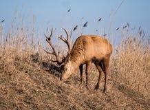 Рогач красных оленей пасет на холме Стоковые Изображения RF