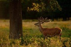 Рогач красных оленей под деревом стоковые фото