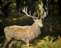 Рогач красных оленей Стоковое фото RF