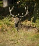 Рогач красных оленей Стоковое Изображение RF