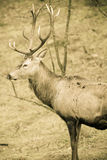 Рогач красных оленей в лесе падения осени Стоковые Фотографии RF