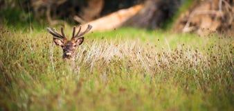 Рогач красных оленей пряча в высокорослой траве Стоковое Изображение