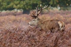 Рогач красных оленей среди папоротник-орляка Стоковые Изображения