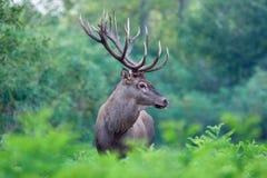 Рогач красных оленей Стоковая Фотография RF