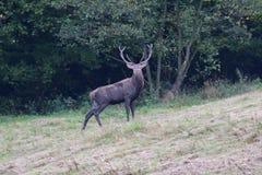 Рогач леса в колейности сезона дуэта Стоковая Фотография RF