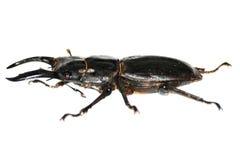 рогач мужчины жука Стоковое Фото