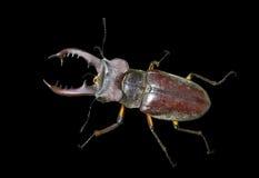 рогач мужчины 13 жуков Стоковое фото RF