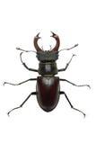 рогач мужчины lucanus cervus жука вползая Стоковое Изображение RF