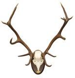 рогач antlers Стоковое Изображение RF
