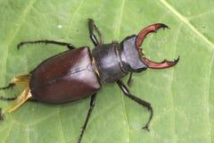 рогач lucanus cervus жука Стоковое Фото