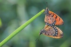 Рогожка бабочки стоковые изображения