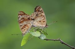 Рогожка бабочки стоковые фото