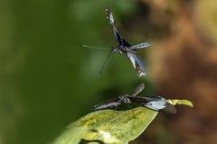 Рогожка бабочки Heliconius sara стоковое фото rf