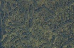 рода этап Schizont паразит protozoan, один из вида  Стоковые Фотографии RF