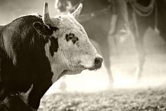 родео быка Стоковые Фотографии RF