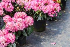 Рододендроны в пластиковых баках на продаже в питомнике заводов на весне стоковое изображение rf