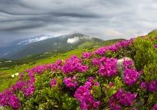 Рододендроны на Chernogor о Goverly Стоковое Изображение RF