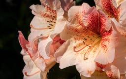 Рододендрон гибридное Пегги, гибрид рододендрона стоковое фото