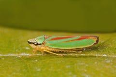 рододендрон листьев хоппера Стоковое фото RF
