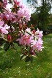 рододендрон пурпура цветения стоковые изображения rf