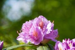рододендрон Стоковое Фото
