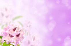 рододендрон стоковые фотографии rf