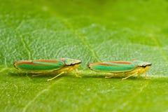 рододендрон 2 листьев хопперов Стоковое Изображение RF