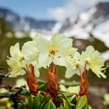 Рододендрон Aureum цветка красоты золотой на предпосылке гор стоковые фото