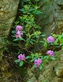 Рододендрон Catawba - catawbiense рододендрона стоковые фото
