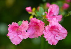 рододендрон indicum стоковые фото